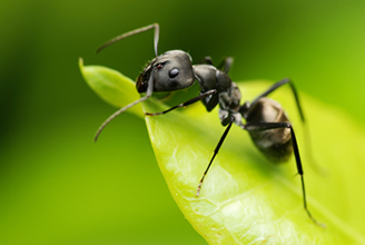 Black Ant - Chesterfield Pest Control
