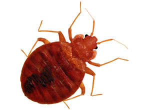 Bed Bug Control and Removal - Pest Control South Yorkshire