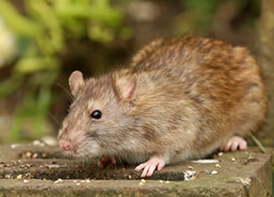 Rat Eradication Chesterfield