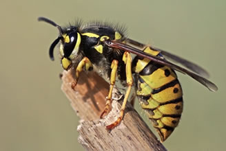 Wasp Pest Removal Sheffield